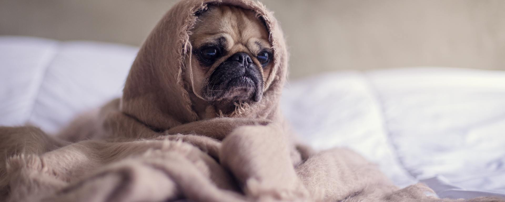 pug dog on a bed with white sheets cuddled up in a brown blanket